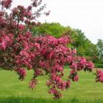 paradisæbletræ 2