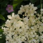 blomst-med-vildrose