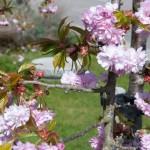 japansk kirsebærtræ