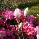 Magnolietræ og rhododendron