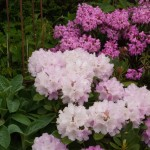 rhododendron bed