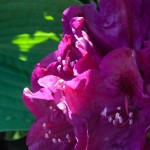 close-up-rhodo
