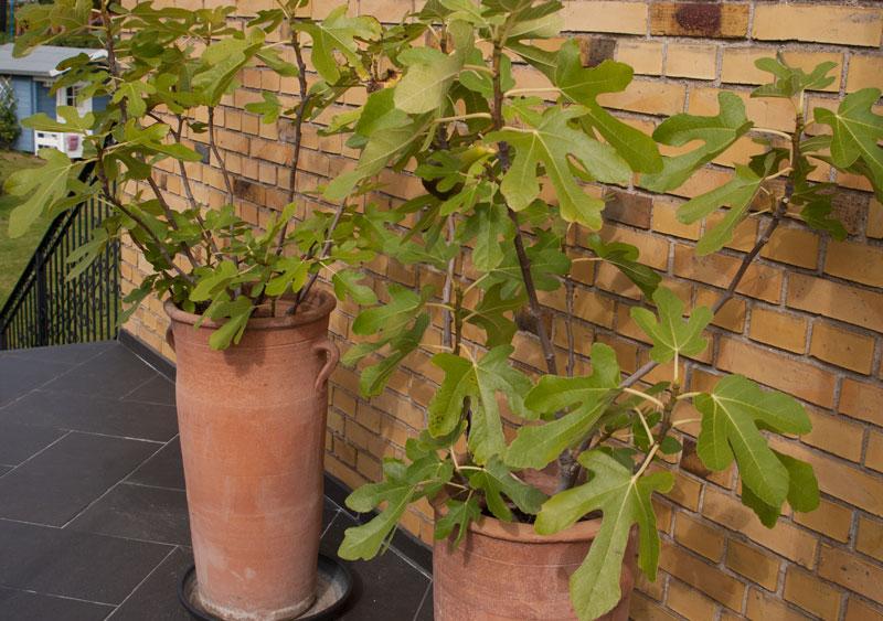 figentræer