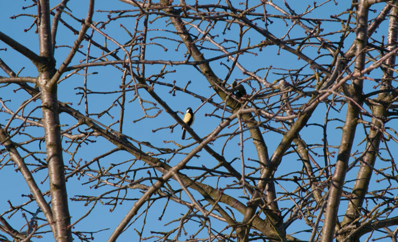 fugl-i-træ
